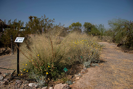 The pollinator garden at the Lost City Museum hosts native plants such as Baileya multiradiata (desert marigold), which is a southern Nevada perennial wildflower that attracts native bees.