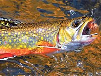 Brook trout troubles in Falls Canyon Creek
